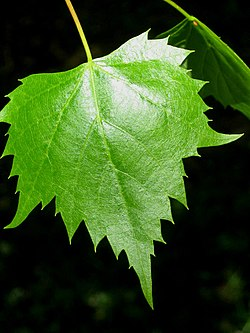 Mongolian Lime leaf.jpg