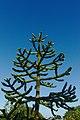 Monkey Puzzle tree (Araucaria Araucana) on Penryn Campus, Cornwall 01.jpg