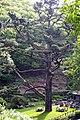 Monterey Pine - geograph.org.uk - 446594.jpg