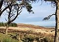 Moorland pines - geograph.org.uk - 305923.jpg