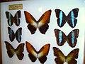 Morphidae8.jpg