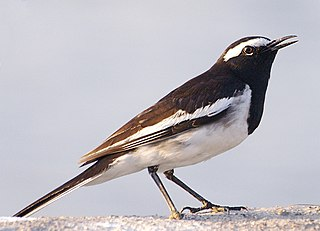 White-browed wagtail Species of bird