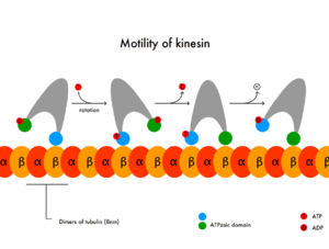Kinesin - Diagram illustrating motility of kinesin.