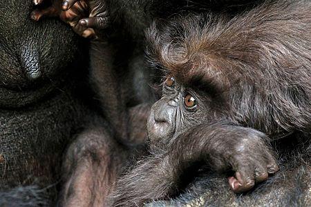 Female mountain gorilla (Gorilla beringei beringei) with her 10-month old baby
