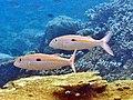 Mulloidichthys flavolineatus Maldives.JPG