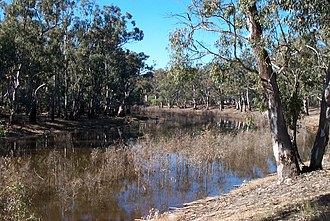 Barmah National Park - River Red Gums along the Murray River, adjacent to the national park
