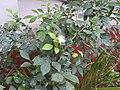 Murraya paniculata-2-csi chruch-salem-India.jpg