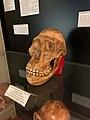 Musée de Préhistoire de l'Université de Liège, crânes 1.jpg