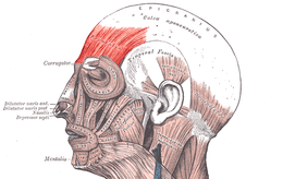 Musculusfrontalis.png