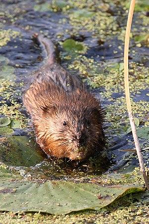 Field Guide/Mammals/United States/Minnesota - Wikibooks