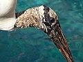 Mycteria americana -SeaWorld Orlando, Florida, USA-8 (3).jpg