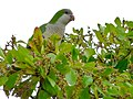 Myiopsitta monachus -Florida -in tree-8c.jpg
