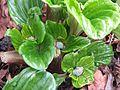 Myosotidium hortensia buds - Flickr - peganum (2).jpg