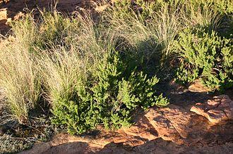 Coleochloa - Habit of Myrothamnus flabellifolius during wet season, growing on quartzite with grasslike tufts of Coleochloa setifera (Ridl.) Gilly, Hamerkop Kloof, Magaliesberg, South Africa