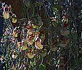 N20160225-0011—Aristolochia californica—RPBG (25329015451).jpg