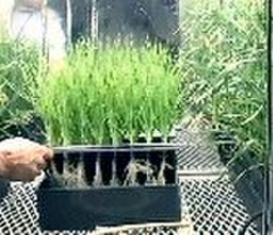 Aeroponics - Many types of plants can be grown aeroponically.