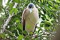 Nankeen Night-Heron (Nycticorax caledonicus) (31307116146).jpg