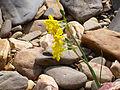 Narcissus jonquilla Hábito 2012-4-01 SierraMadrona.jpg