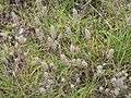 Narrow-leaved Clover (3211437069).jpg