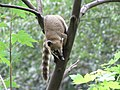 Nasua nasua climbing tree.JPG
