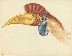 Knobbed hornbill - Image: Naturalis Biodiversity Center MMNAT01 AF NNM001000152 Natuurkundige Commissie voor Nederlandsch Indië Bird species Art