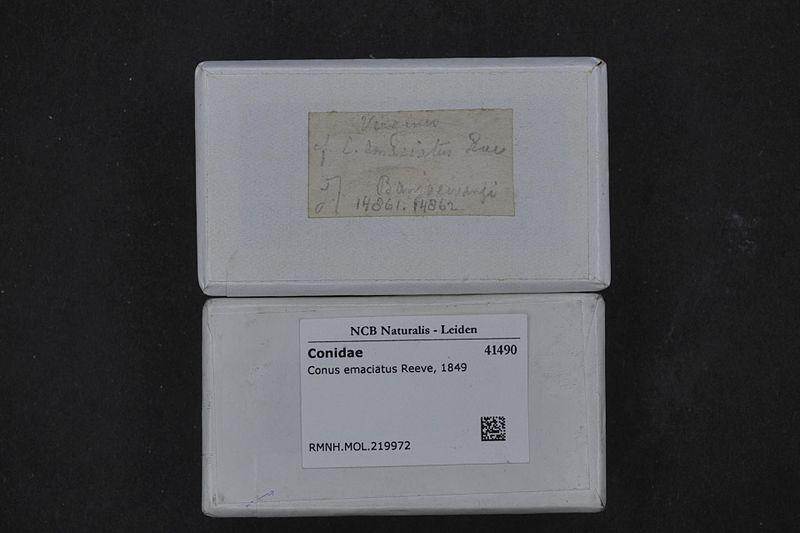 File:Naturalis Biodiversity Center - RMNH.MOL.219972 1 - Conus emaciatus Reeve, 1849 - Conidae - Mollusc shell.jpeg