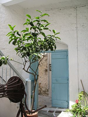 Greek citron - A citron tree in front of a private home in Naxos
