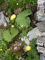 Naye-Alpengarten 10.JPG