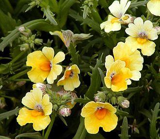 Nemesia (plant) - Nemesia 'Sunsatia Banana' is an ornamental hybrid cultivar