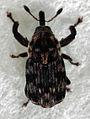 Neolaemosaccus narinus.jpg