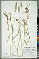 Neuchâtel Herbarium - Alopecurus pratensis - NEU000100153.jpg