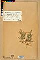 Neuchâtel Herbarium - Alyssum alyssoides - NEU000021926.jpg