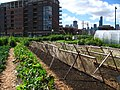 New crops-Chicago urban farm.jpg