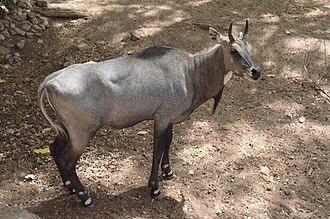 Nilgai - Nilgai at Giza Zoo