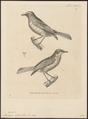 Niltava hyacinthina - 1700-1880 - Print - Iconographia Zoologica - Special Collections University of Amsterdam - UBA01 IZ16500129.tif