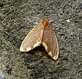 Noctuidae. Lymantriinae. Nygmini. (Orvasca bicolour) - Flickr - gailhampshire.jpg