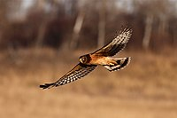 Northern Harrier (5927976071).jpg