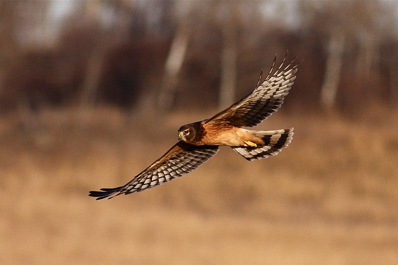 File:Northern Harrier (5927976071).jpg