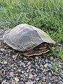 Northern Map Turtle (43022177331).jpg