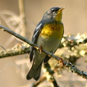 Northern parula - Image: Northernparalua 20