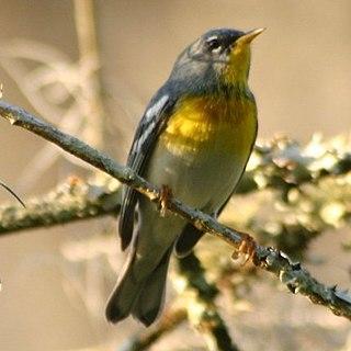 Northern parula species of bird