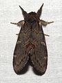 Notodonta dromedarius02.jpg