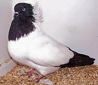 Nun pigeon.jpg