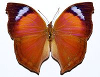 Nymphalid Butterfly (Salamis anteva) (8350744456).jpg