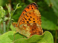 Nymphalidae - Brenthis daphne.JPG