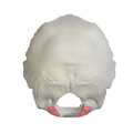 Occipital condyle13.png