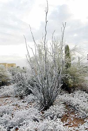 Madrean Region - Fouquieria splendens in Tucson in winter
