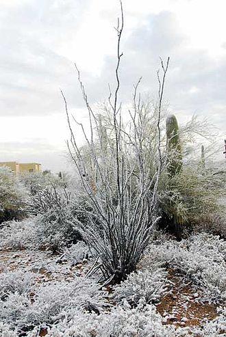 Madrean Region - Fouquieria splendens in Tucson in winter