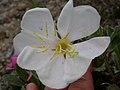 Oenothera caespitosa (3646371749).jpg