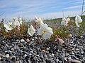 Oenothera pallida subsp. pallida.jpg